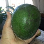 This avocado was bigger than my hand!